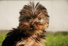 Yorkshire Terrier, puppy Dog portrait