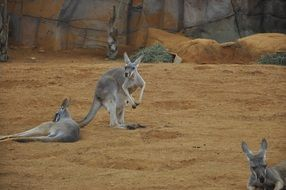 kangaroos in the zoo