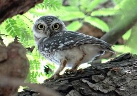 spotted owlet in india