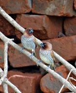perched spotted munia birds