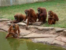 family of brown orangutans in a zoo