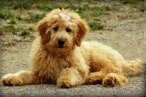 Cute goldendoodle dog rest