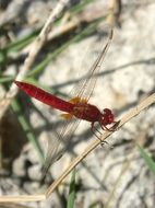 red dragonfly in wetland