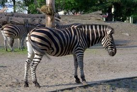 African striped black and white zebra