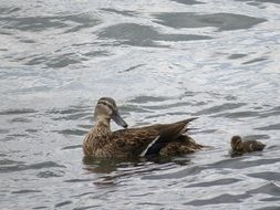 duck teaches duckling to swim