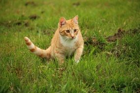 hunting red domestic cat tabby