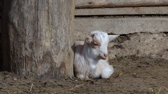 young farm goat