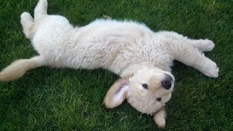 golden retriever puppy lies on green grass