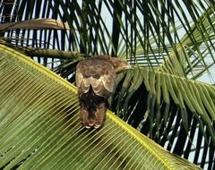 black kite on the palm tree