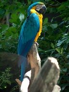 bright blue yellow macaw parrot
