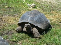 galapagos tortoise is endangered