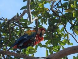 macaw parrot on a tree branch among green leaves