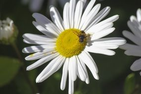 Honey bee on the other white and yellow flower