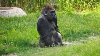 serious gorilla in a zoo