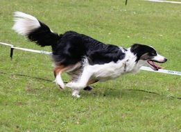 border collie runs fast across the field