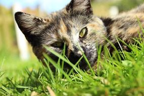 Lucky Cat lying on a grass