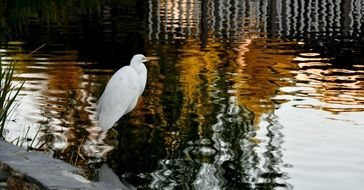 graceful white heron in the water