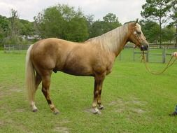 Palomino is a coat color in horses, consisting of a gold coat and white mane and tail.