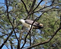 white-bellied eagle on a tree branch