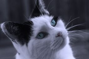 portrait of an adorable black and white cat