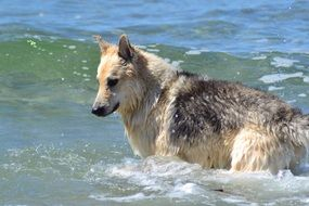 Sled Dog in water