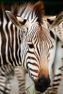 striped black and white zebras
