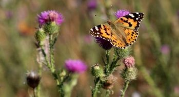 orange butterfly on a thistle flower
