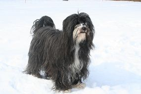 Tibetan Terrier is standing in the snow