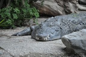 relaxed alligator