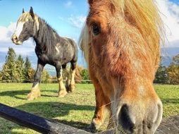 domestic horses on pasture
