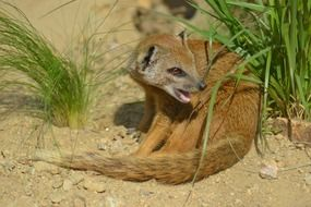 yellow mongoose in africa