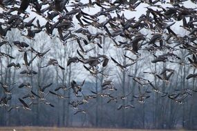 migrating wild geese in autumn