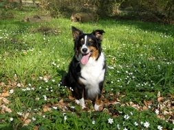 australian shepherd on the meadow