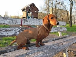 brown dachshund on a bench