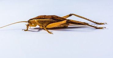 scary grasshopper on a white background