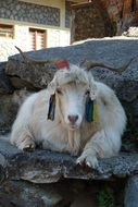 tibetan white goat in Nepal