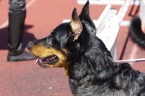 The Beauceron is imposing and powerful