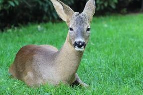 Roe deer is lying on the grass