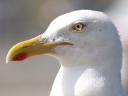 white head of a seagull on a blurred background