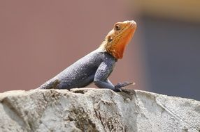 enchanting Red Head Lizard