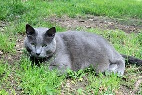 grey well-groomed cat