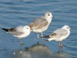 three Gulls standing on wet sand at water