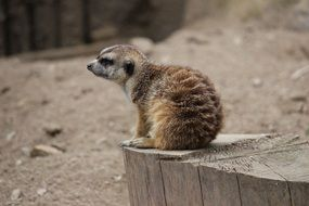 Small Brown Meerkat