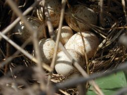 Photo of Eggs in a nest