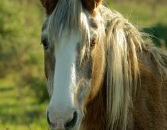 brown horse with a long mane