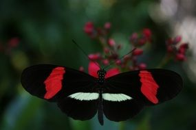 black butterfly on a red flower