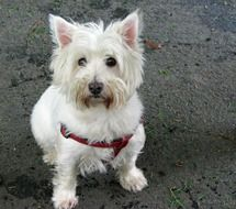 west highland white terrier with a red leash