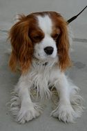 Cavalier King Charles spaniel on a leash in the yard