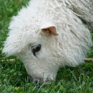 Cute Cotswold Sheep
