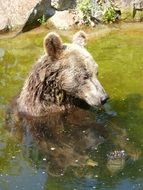 lazy Bear Animal in water